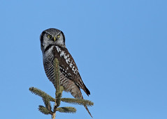 Northern Hawk Owl...#30 (Guy Lichter Photography - 4.4M views Thank you) Tags: owlnorthernhawk canon 5d3 canada manitoba winnipeg wildlife animals birds owl owls