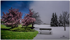 NOVEMBER 2018 NGM_9566_6201-1-4-222 (Nick and Karen Munroe) Tags: climatechange photomashup mashup wintry winter fog foggy winterfog winterwonderland mist misty fogpatches seasonscollide cherry cherryblossoms cherrytree cherryblossom blossoms bloom blooms blooming flowers flower flowering flowertown trees tree karenick23 karenick karenandnickmunroe karenandnick munroe karenmunroe karen nickandkaren nickandkarenmunroe nick nickmunroe munroenick munroedesigns photography munroephotoghrpahy munroedesignsphotography nature landscape brampton bramptonontario ontario ontariocanada outdoors canada d750 nikond750 nikon 1424 1424f28 nikon1424 nikonf28 f28 colour colours color colors
