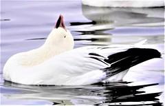 Beautiful goose! Zénitude! (rosedenovembre) Tags: zen bird water goose oie zénitude douceur blanc noir bleu magnifique wonderful