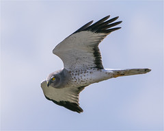 The All Elusive Male Harrier (billkominsky ) Tags: coth5 naturethroughthelens