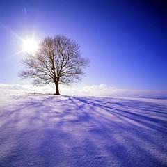 19990205_IMG_1003-trm-mod (NAMARA EXPRESS) Tags: landscape view form style tree plant maple snow sun shine blue white shadow winter hill silhouette backlight daytime fine outdoor color tokoro kitami hokkaido japan film fujifilm velvia rvp hasselblad 903swc carlzeiss biogon 38mm f45 canon canoscan 9000f scanner scan namaraexp