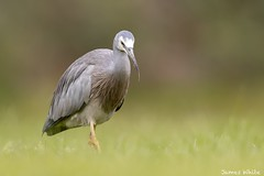 White-faced heron (Jims Wildlife) Tags: whitefacedheron bird australia egrettanovaehollandiae