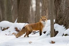 Renard Roux / fox (ALLAN .JR) Tags: renard roux fox nature wildlife ilestbernard faune nikon