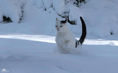 Richard: I'm a Snow Cat! Master Of Snow ❅❅❅ (Xena*best friend*) Tags: richardgere rg catsinaction runningcats catsrunninginthesnow cats whiskers feline katzen gatto gato chats furry fur pussycat feral tiger pets kittens kitty animals piedmontitaly piemonte canoneos760d italy wood woods wildanimals wild paws calico markings ©allrightsreserved purr digitalrebelt6s efs18135mm flickr outdoor animal pet photo nature winter cold catlover snow frozen freezing winterwonderland ilovewinter ilovesnow catsinthesnow catshavingfuninthesnow wonderfulwinter snowcat mastersnowcat masterofsnow