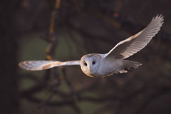 Barn owl hunting in the setting sun (Kentish Plumber) Tags: tytoalba barnowl screechowl owl bird hunting nature wildlife quartering feathers face eyes wings flight flying