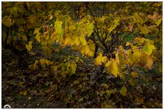 """""""El olvidado"""" (Gerkraus) Tags: canon botanica paisaje cataluña amarillo otoño santsadurni"""