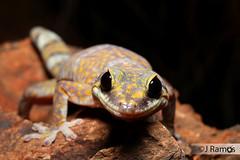 Inland Marbled Velvet gecko (Oedura cincta) (J.Ramos15) Tags: lizard gecko reptile australia oedura macdonnell nt northern territory diplodactylidae