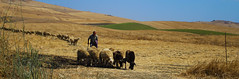 Berger de Sicile (Hugues Boulard) Tags: sicile sicily sicilia berger shepherd sheep été summer champ paysage campagne countryside fields moutons