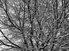 Snowy Tree (pmorris73) Tags: bayfieldcourt orchardpark statecollege pennsylvania century 2ca2019 3ca2019 4ca2119 5ca2219 6ca2619 7cb0419 8cb2319 9cb2619