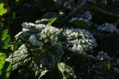 Frozen (Steenjep) Tags: blomst flower macro makro closeup frost frozen vinter winter rim lys skygge light shadow blad leaf