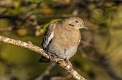 White-winged dove (Mike_FL) Tags: whitewingeddove nikon nikond7500 nature outdor bird photograph image tamron100400 floridawildlife florida wakodahatcheewetlands