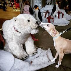 True love willow and Mr polar bear • • • • • #petstagram #pets #bears #whippet #instabear #animal #whippetsofinstagram #bearsofinstagram #dogoftheday #doglover #petsofinstagram #animals #ilovemydog #gaybears #instapet #chicagobears #instacub #whippetlove (justin.photo.coe) Tags: ifttt instagram true love willow mr polar bear • petstagram pets bears whippet instabear animal whippetsofinstagram bearsofinstagram dogoftheday doglover petsofinstagram animals ilovemydog gaybears instapet chicagobears instacub whippetlove bearcub adorable sighthound growlr hairymen cub puppies whippetlife