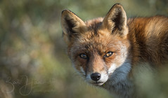 fox portet (Bart Hardorff) Tags: 2018 awd amsterdamsewaterleidingduinen barthardorff thenetherlands bentveld noordholland nederland nl