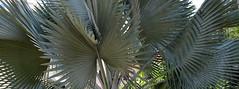 Palmeira azul (Rctk caRIOca) Tags: catete flamengo museu da república rio de janeiro