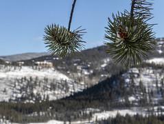 Packed With Snow (noname_clark) Tags: breckenridge mountain snow macro pine