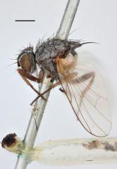 Musca socia Fallén, 1825 (Biological Museum, Lund University: Entomology) Tags: fallén diptera anthomyiidae musca socia emmesomyia mzlutype00503 taxonomy:binomial=muscasocia