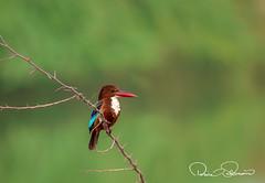 white throat kingfisher (TARIQ HAMEED SULEMANI) Tags: sulemani supershot sensational winter wildlife wild nature birds tariq tourism trekking tariqhameedsulemani travel