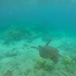 Turtle fly black sand beach Big island Hawaii thumbnail