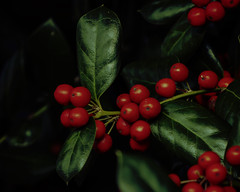 """green foil leaves (Paul"""") Tags: holly chester virginia 23831 red berry pfh hss slidersunday 61b holliday card"""