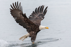 Bald Eagle Fishing (Andy Morffew) Tags: inexplore explored baldeagle eagle fishing spray kachemakbay alaska andymorffew morffew naturethroughthelens