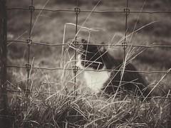 Hunting (J.C. Moyer) Tags: lumix panasonicdmcgx80 rustic blackandwhite blackwhite farmcat cat farm grass fence mice hunter hunting
