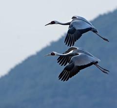 White-naped Cranes (mishko2007) Tags: grusvipio whitenapedcrane korea 200500mmf56