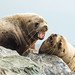 Two steller sea lions singing in harmony...