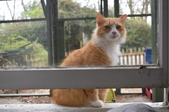 Jimmy at the window (set of 5) (rootcrop54) Tags: jimmy orange ginger tabby male cat window openwindow catenclosure catio insideoutside neko macska kedi 猫 kočka kissa γάτα köttur kucing gatto 고양이 kaķis katė katt katze katzen kot кошка mačka gatos maček kitteh chat ネコ