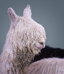 20190316-Rasta-paca-3374 (Karen Dixon Photography) Tags: alpaca rockymountains denver animals cute adorable