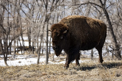 Rocky Mountain Bison (Ciavatta Photography) Tags: bison rockymountainarsenal colorado wildlife animal