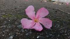 20181130_084941 (Feralysa) Tags: flor flower rosa hibisco natureza