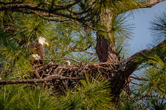 Little Eagles-1 (Les Greenwood Photography) Tags: eagle nature nest wildlife woods babies