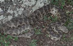 Levant Blunt-nosed Viper (Macrovipera lebetina obtusa) (cowyeow) Tags: levantbluntnosedviper macroviperalebetinaobtusa levant bluntnosedviper macroviperalebetina obtusa bluntnosed viper macrovipera lebetina easteurope georgia georgian caucuses european reptile herp herping reptiles nature wildlife snake big venom venomous dangerous snakes