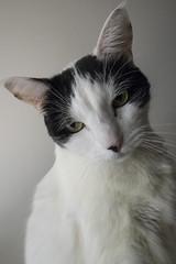 Caturday morning charmer -[ Happy Caturday ]- (Carbon Arc) Tags: happycaturday cat feline kitty furball charm pose fuzzball