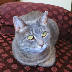 Millie 7 November 2018 1444Ri sq (edgarandron - Busy!) Tags: millie graytabby cat cats kitty kitties tabby tabbies cute feline