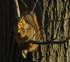 Just a squirrel in a tree.... (Kevin Povenz Thanks for all the views and comments) Tags: 2019 january kevinpovenz westmichigan michigan ottawacounty ottawa ottawacountyparks grandravinesnorth sigma150500 canon7dmarkii nature wildlife outdoors outside tree rodent squirrel limb breakfast sunlit sunlight shadow