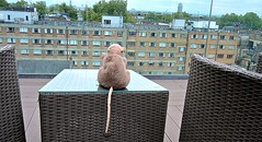 Rat relaxes in London (dw*c) Tags: london england hotel hotels toy toys uk britain trip travel nikon picmonkey