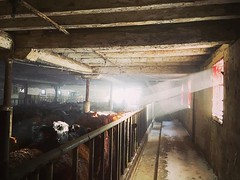Peek-a-boo. Good morning to you. (jessalynn_sammons) Tags: iphone chores farmher farm cattle barn light beautifullight instagram ifttt