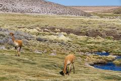 Vicuna (DOS82) Tags: chile atacama desert vicuna animal alpaca