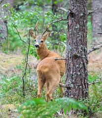 226-1 (Andre56154) Tags: schweden sweden sverige reh tier animal wald forest deer