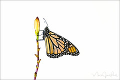 MONARCH (Mark James Ford) Tags: danausplexippus butterfly monarch monarchbuttrfly monarchfalter schmetterling summer light sky sigmaphoto markjamesford bigisland hawaii arundinagraminifolia foveon sigma