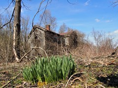 lives to see another spring (photography_isn't_terrorism) Tags: house farmhouse abandoned daffodil spring decay neglected