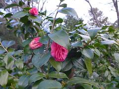 19o2067 (kimagurenote) Tags: ヤブツバキ camellia camelliajaponica flower 東高根森林公園 higashitakane forest park 川崎市宮前区 miyamaekawasaki