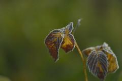 Frost 9.10.18 (Oleg1961) Tags: flowers leaves autumn frost ice bokeh tokina atx pro 100mm f28 d macro
