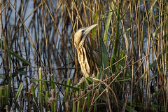 If you can't find more cameras I'm not coming out (Chris B@rlow) Tags: botaurusstellaris bittern greatbittern eurasianbittern minsmere rspb suffolk bird birds heron nature wildlife outdoors canon7dmarkii sigma150600sport