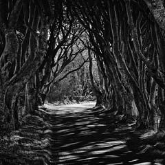 Entwined (-- Q --) Tags: northernireland darkhedges countyantrim glensofantrim ballycastle paddysbarn monochrome trees blackandwhite atmosphere leefilters qthompson marumidhgcpl gameofthrones