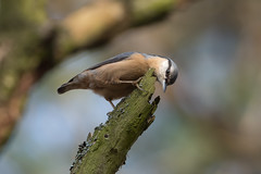 Nuthatch (JS_71) Tags: nature wildlife nikon photography outdoor 500mm bird new autumn see natur pose moment outside animal flickr colour poland sunshine beak feather nikkor