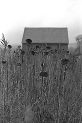 sunflowers (Lennart Arendes) Tags: analog film kodak trix black white schwarz weis 35mm kb canon eos 1n ef 50mm 18 stm flowers flower sunflower sunflowers withered field barn fall