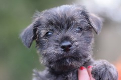 Three (4) (AlmostHome_Dog) Tags: almost home dog rescue north wales puppy puppies pup pups westie yorkie west highland terrier yorkshire