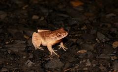 Spring Peeper, Bucks County, PA, 12/21/18 (sstaedtler) Tags: nature frog buckscounty outside wildlife amphibian